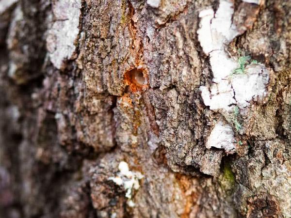 Пробное отверстие на наличие сока в стволе взрослого дерева берёзы