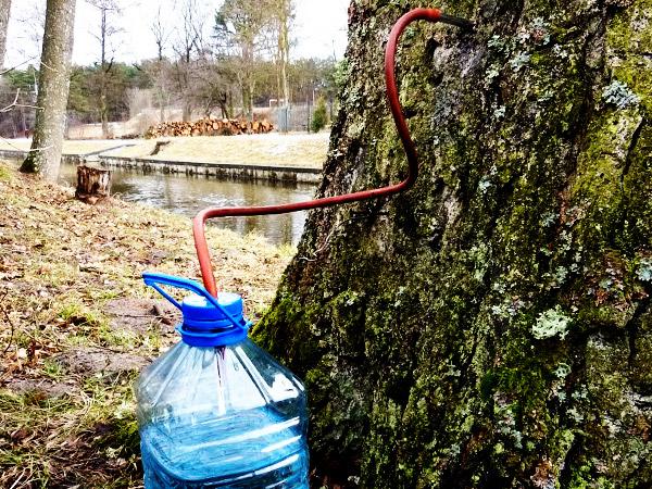Добыча берёзового сока в бутылку с помощью капельницы