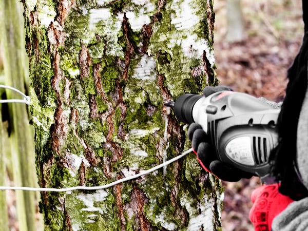 фото как правильно добывать сок берёзы в лесу