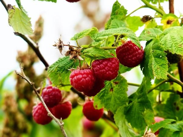 сбор садовых ягод